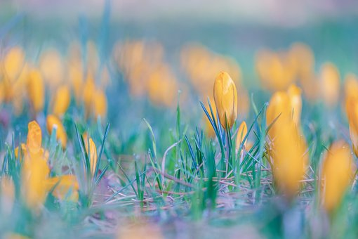 Crocus, Flower, Closed Flower, Yellow