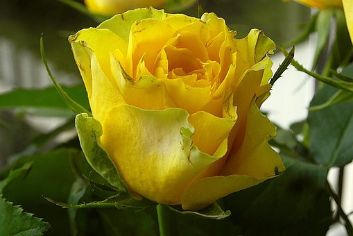 Rose Yellow, Flowers, Clear, Decoration