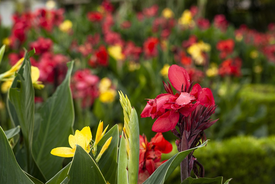 Canna Lily, Lilies, Tropical Flowers, Flowers, Summer