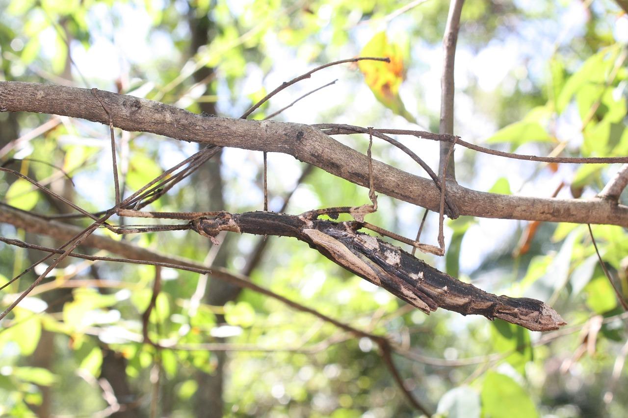 Stick Insect Camouflage - Free photo on Pixabay