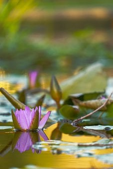 Water Lily, Aquatic Plant, Flower