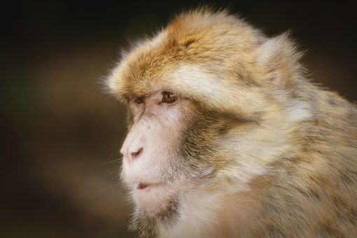 Barbary Ape, Endangered Species