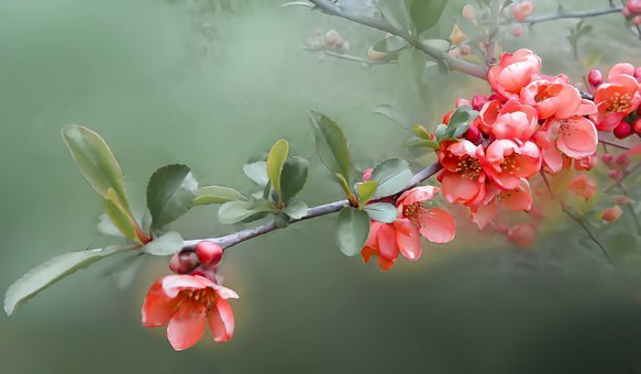 Flower, Flowers, Quince, Bush, Spring
