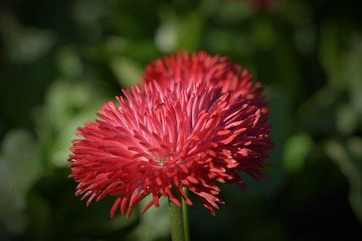 Daisy, Geese Flower, Spring, Flower