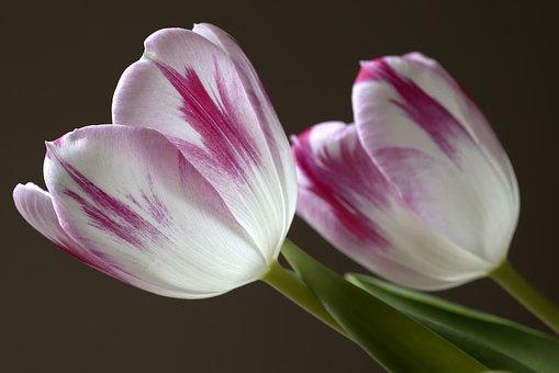 Tulips, Flowers, Tulpenbluete