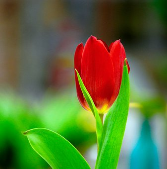 Tulips, Red, Flowers, Spring, Nature
