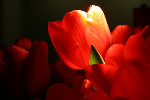 Tulips, Flowers, Bright, Red, Orange