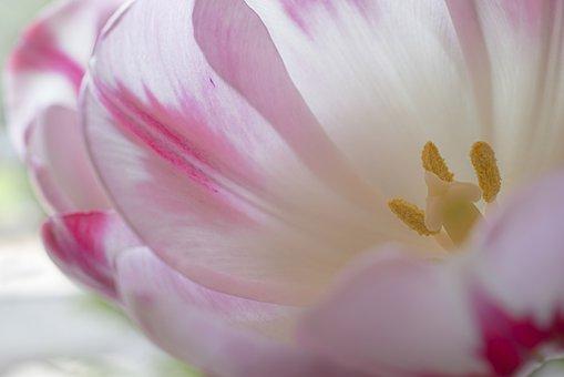 Tulip, Blossom, Bloom, Tulpenbluete