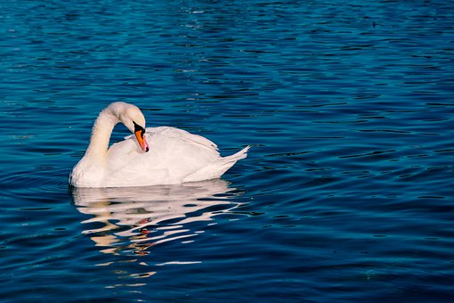 Swan, Animal, Pride, White, Lake, Water