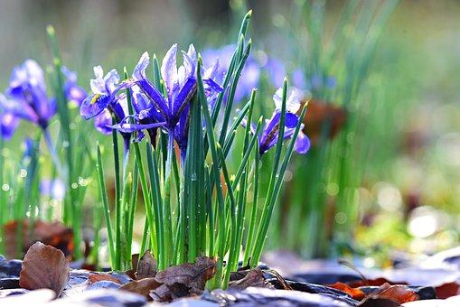 Nettled Iris, Spring Flower, Plant