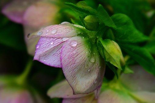 Hellebore, Flower, Plant, Petal, Leaf
