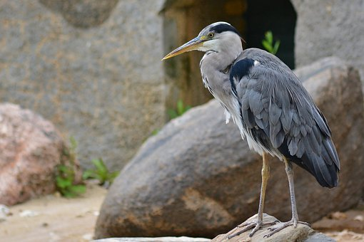 Nature, Animal World, Heron, Close Up
