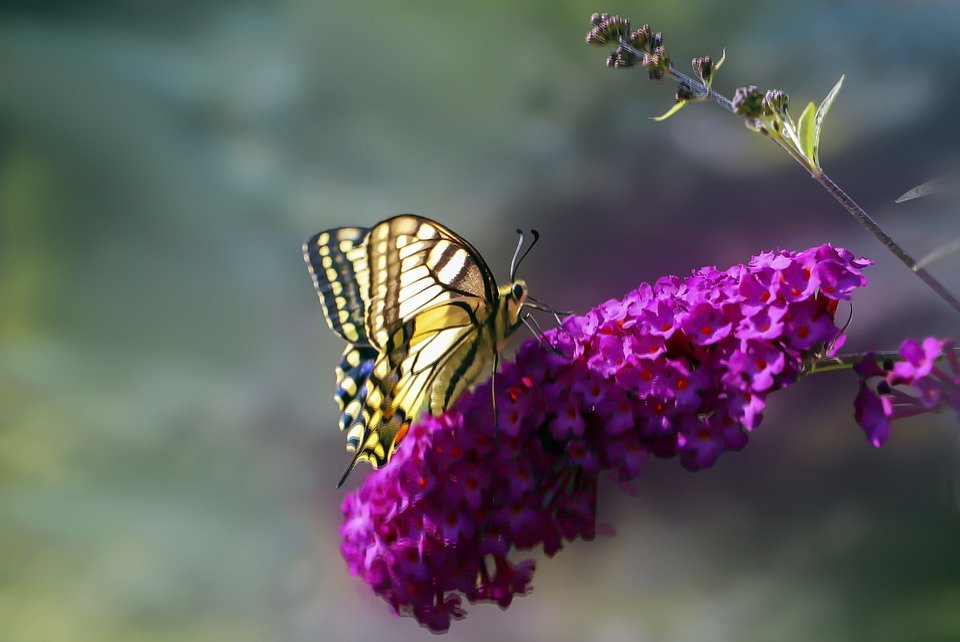 Butterfly, Butterflies, Swallowtail, Insect, Nature