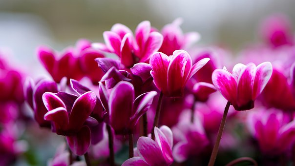 Cyclamen, Flower, Blossom, Bloom, Nature