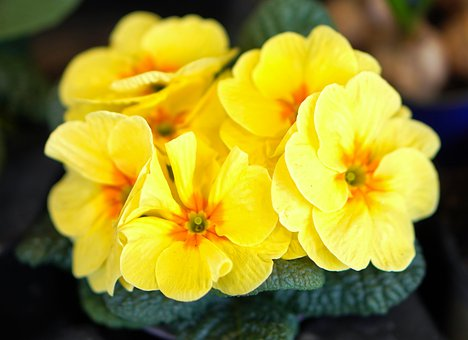 Primrose, Flower, Blossom, Bloom, Spring