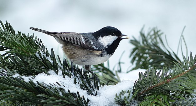 Animal, Bird, Tit, Coal Tit