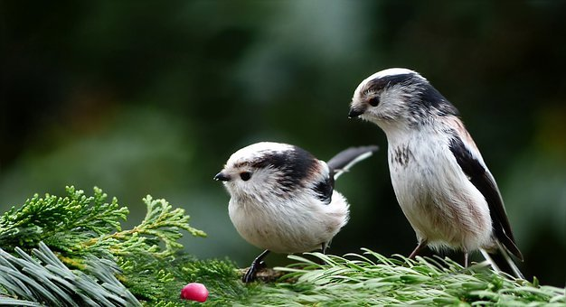 Animal, Bird, Tit, Long Tailed Tit