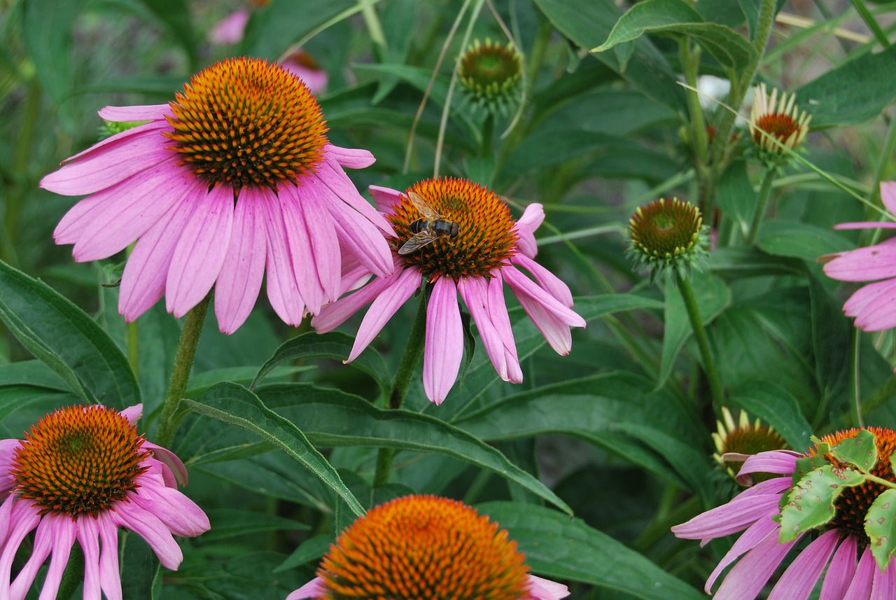 Echinacea purpurea purple cone flower in a garden in summer stock photo