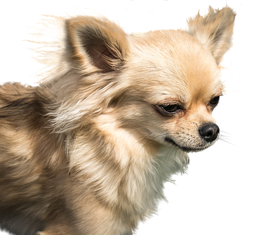 Dog, Chihuahua, Exemption, Cute, Small