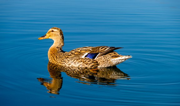 Duck, Bird, Water Bird, Mallard, Animal