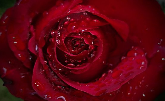 Rose water for face, Petal, Droplets, Water, Plant