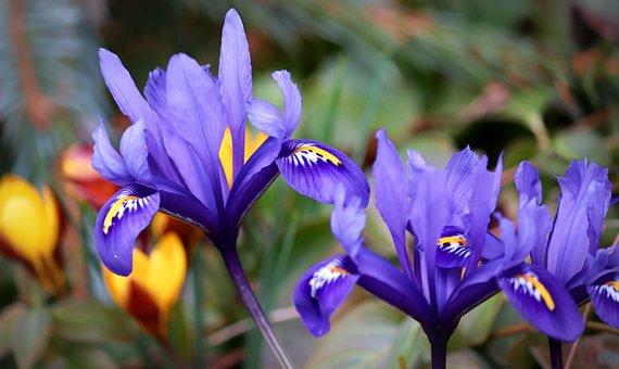 Duhovka, Iris, Květ, Purpur, Fialová