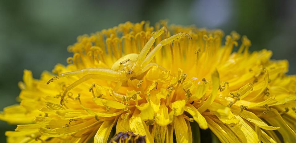 Laba-Laba Kepiting Goldenrod, Hewan dengan Warna Kuning yang juga Dapat berubah Warna
