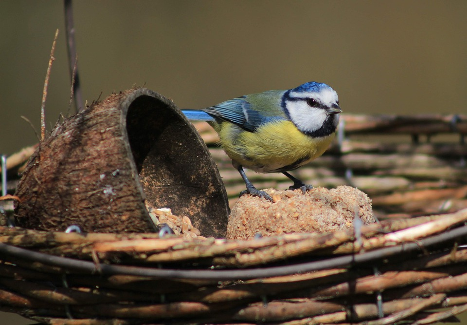 Attracting blue tits to your garden