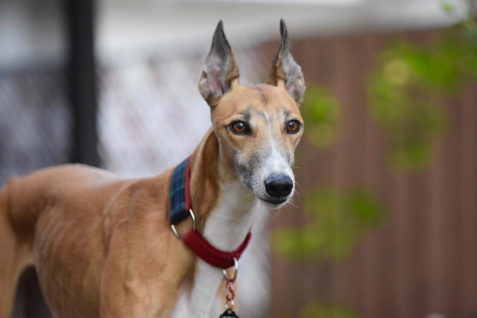 Greyhound, Greyhounds, Retired Racing Dog, 45Mph, Dog
