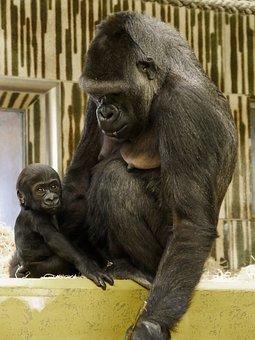 Zvířecí Svět, Opice, Gorila, Baby