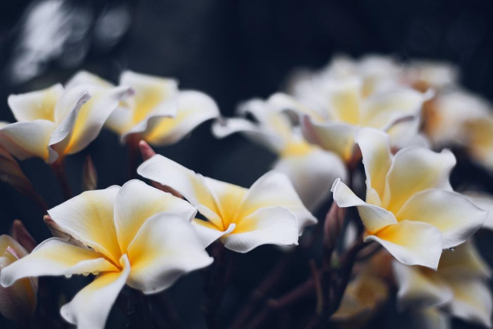 プルメリア, フラワー, タイ, バリ島, アジア, フラワーズ, 自然, 葉, プラント, オープン
