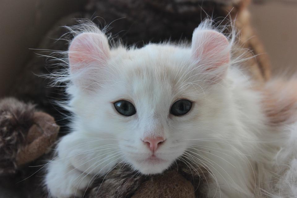 American Curl, Kitten, Cat Cute, Ears, Pet, Feline