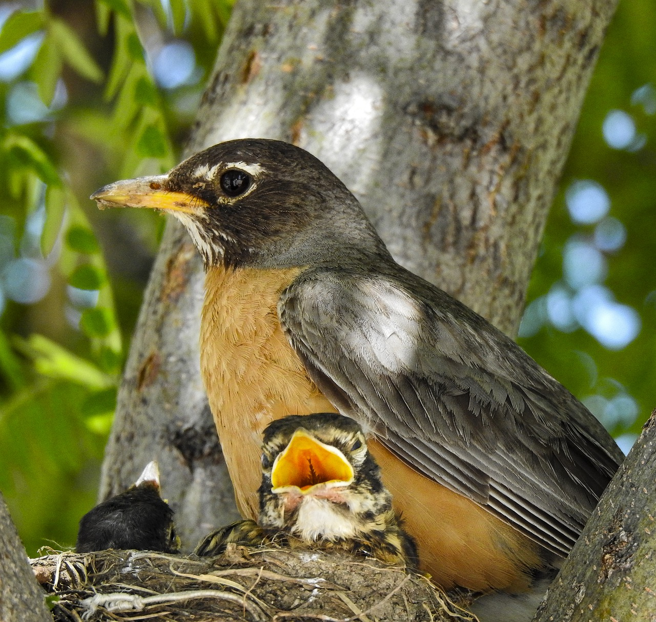 Baby robins eat 14 feet of earthworms every day.