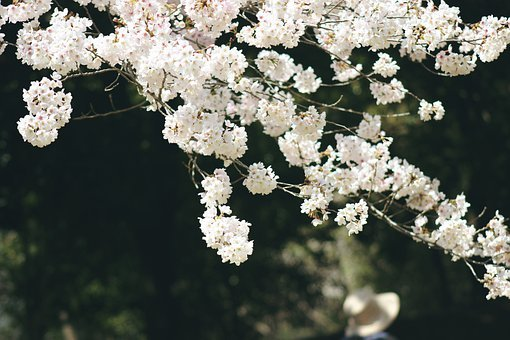 Sakura, Primavera, Floración, Naturaleza, Japón