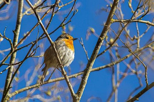 Robin Europeo, Erithacus Rubecula
