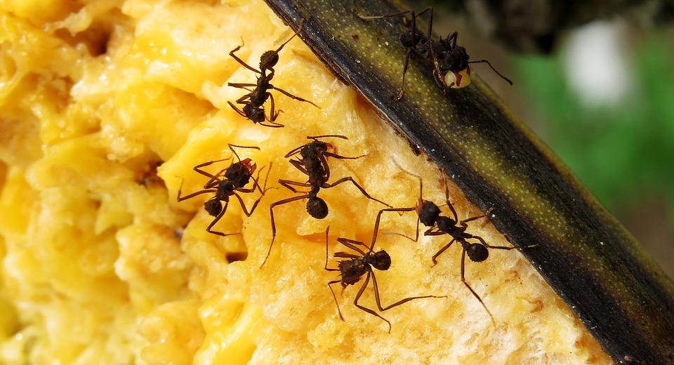 Macro, Insectes, Fourmis, Travail, Colombie