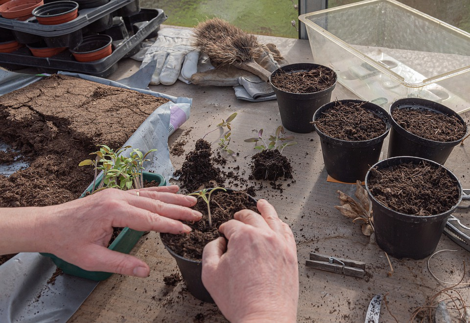 Planta Joven, Los Tomates, Bandejas De Cultivo