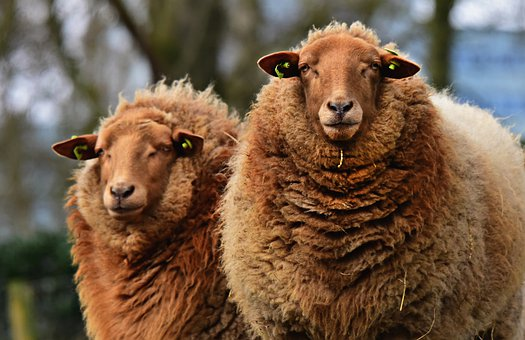 Sheep, Animal, Mammal, Ruminant