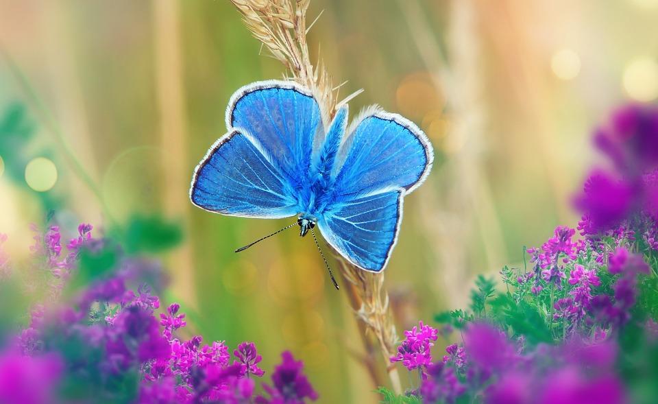 Polyommatus Icarus, Tom, Farfalle Diurne, Insetto