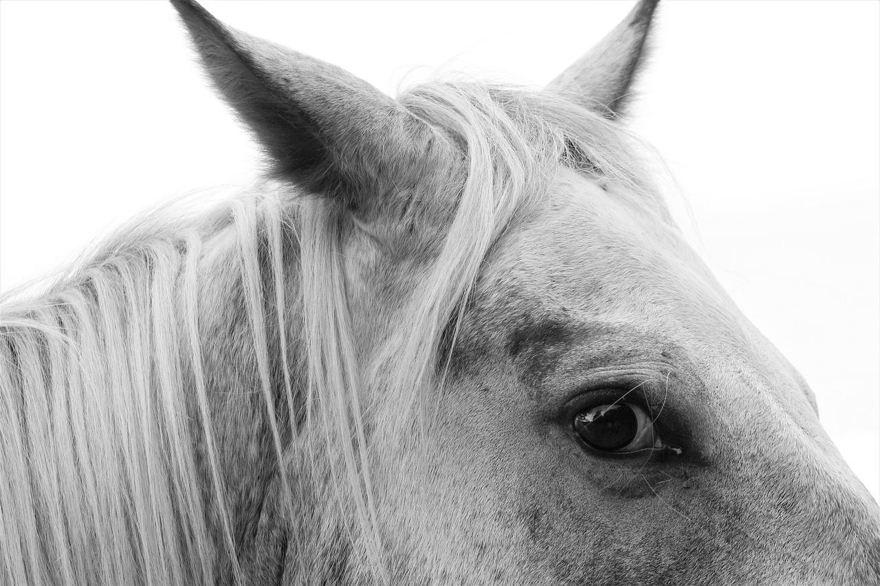 Horse Grey Equestrian Free Photo On Pixabay
