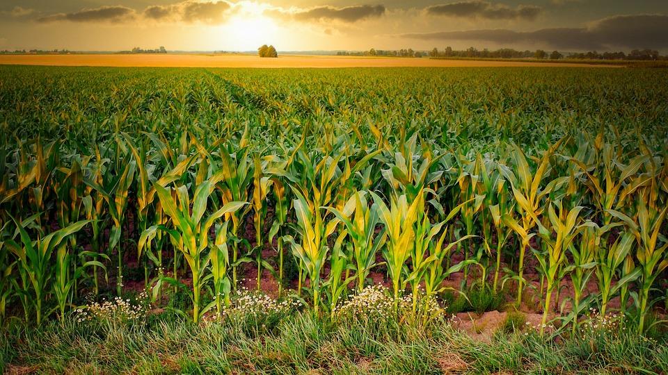 Corn, Cornfield, Agriculture, Arable, Field, Harvest