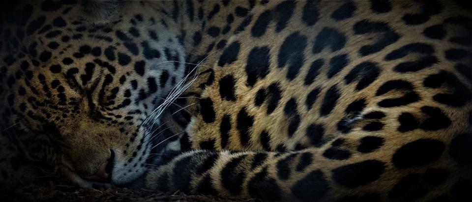 Leopard, Wildkatze, Raubkatze, Schlafen, Hintergrund