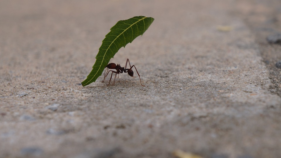 Do Leaf-cutter Ants Really Feed on Leaves?