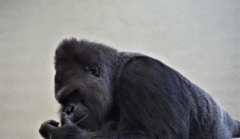 ゴリラ, シルバー バック, 黒い背景に, 猿, 動物, 強力な, 黒, ボス, ヘッド, 支配的な, サル