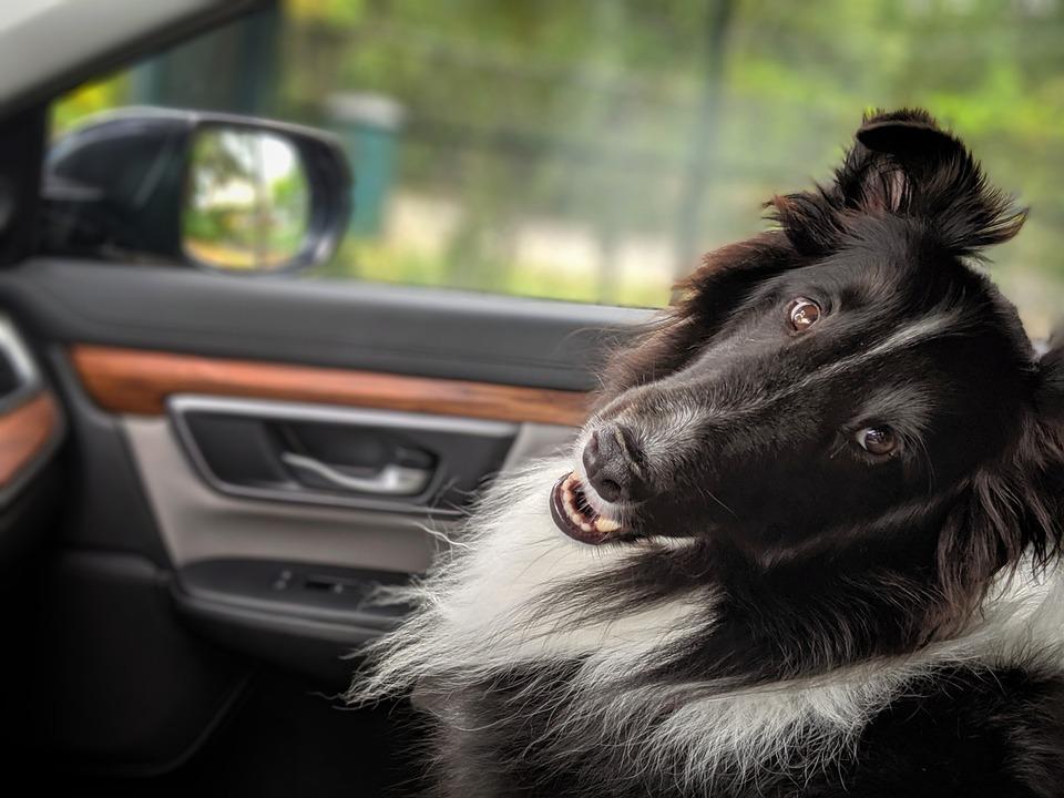 Dog, Sheltie, Kindness, Love, Appreciation, Happy