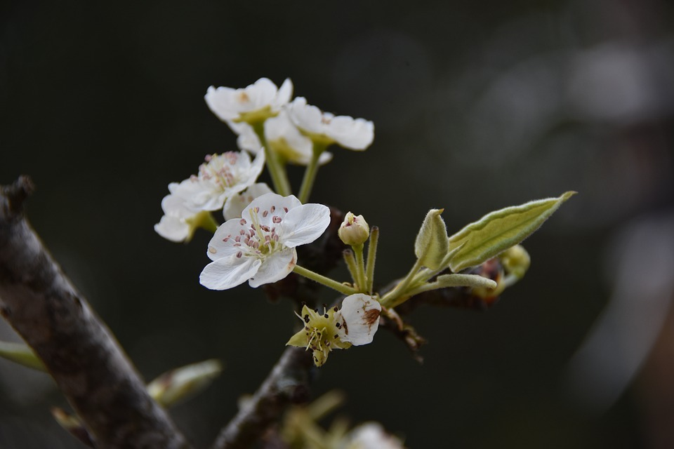 Pear Flower, Flower, Petal, Nature, Spring, White