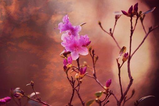 映山红, 花, 植物, 杜鹃, 灌木, 春, 早期的纰漏, 花园