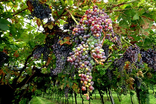 Grapes, Abundance, Vineyard, Fruit