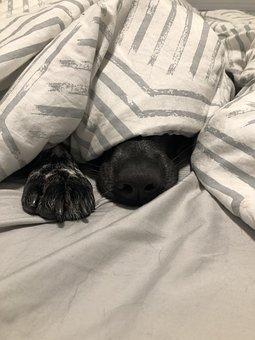 Dog, Dog Sleeping, Kelpie, Blue Heeler
