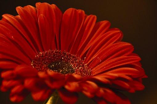 ガーベラ, 花, 女性の日, 花びら, オレンジ, 植物学, フローラ, 咲く